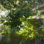 Sun coming through the leaves in my back yard.